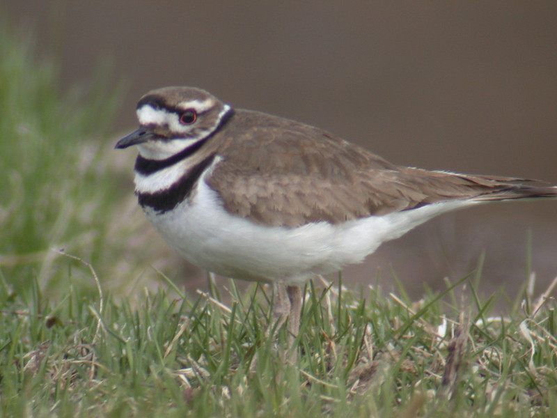 Killdeer - Trout Lake - Itasca County, MN - 01