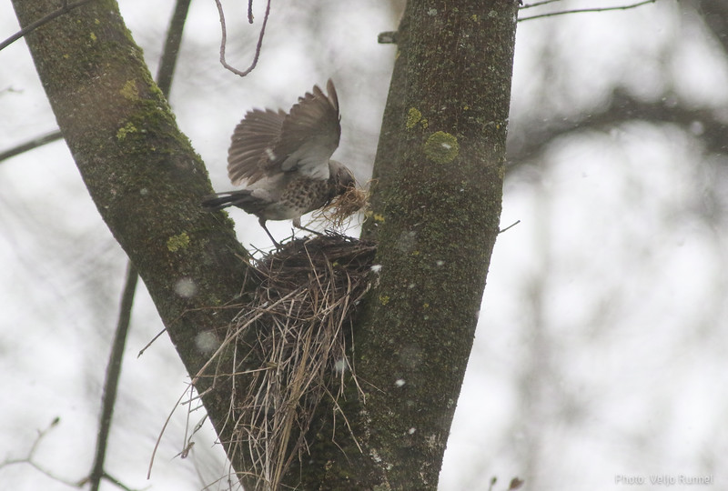 Fieldfare on the nest