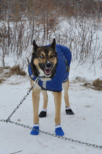 Blue and brown eyed sled dog.