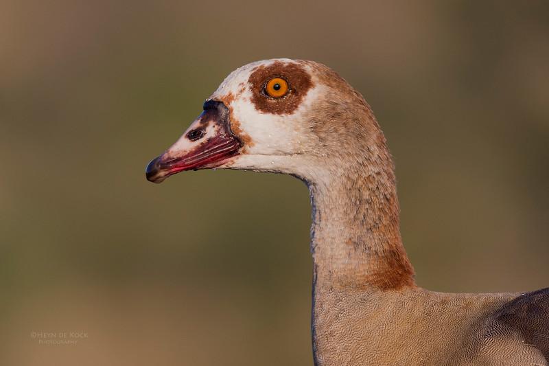 Egyptian Goose, Zimanga, South Africa, May 2017-3.jpg