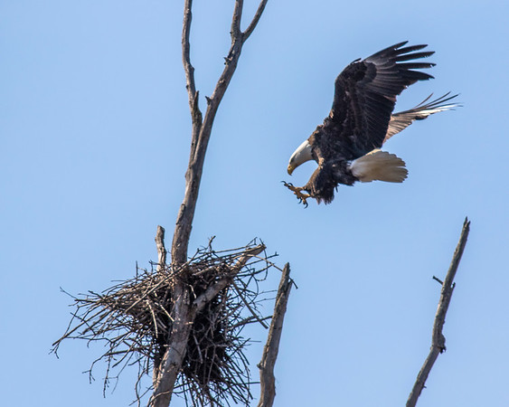 Bald Eagles Medina