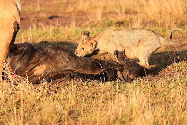 Lion Cubs at Kill Mara North Kenya 2017
