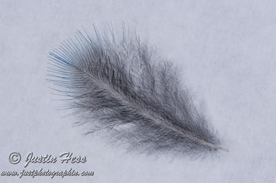 Mountain Bluebird Fledgling Feather 08-12-2017