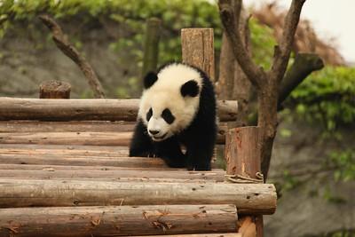 Panda , Sichuan 2010
