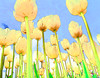 Abstract fine art photograph view from the ground of white tulips. Abstract photograph painting artwork photography photo photographs Abstract photograph painting artwork photography photo photographs.