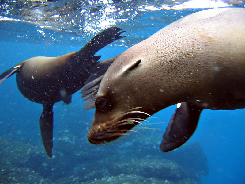 Sea lion swims close by
