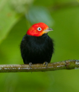 Red-capped Manakin