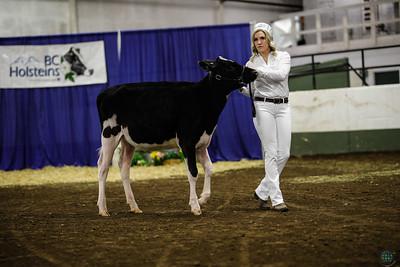 BC Spring Holstein Heifers 2018