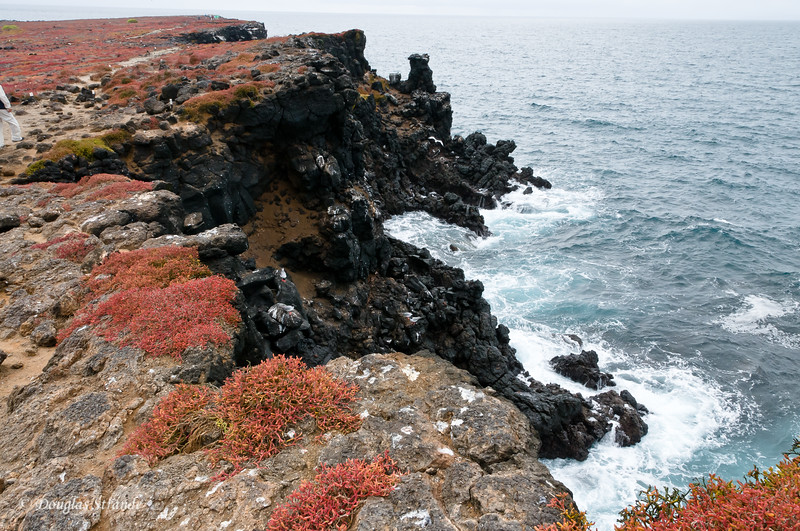Cliffs of lava with red Sesuvium on the South shore of South Plaza Island