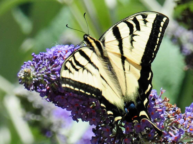 Western Tiger Swallowtail Butterfly - 5/19/2013 - Bird and Butterfly Garden