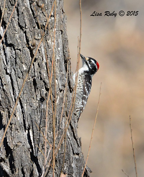 Nuttall's Woodpecker - 2/8/2015 - Poway Pond - private side