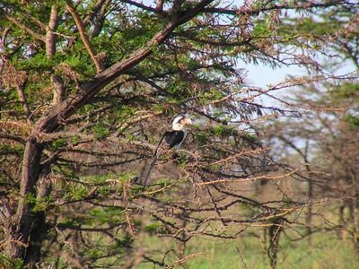 Hornbills and Kin