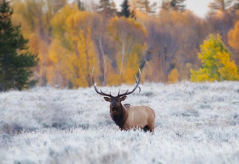 Moose, Elk and Deer