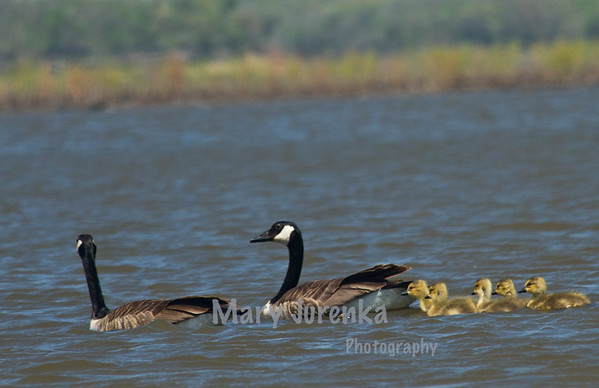 Canada Geese and Trumpeter Swans