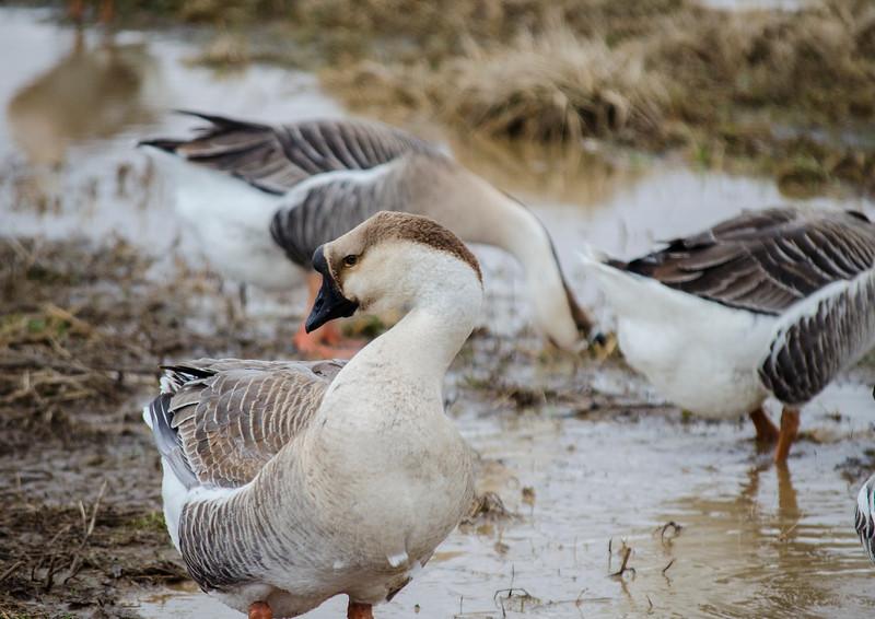 wildlife - chineese goose side profile(p).jpg