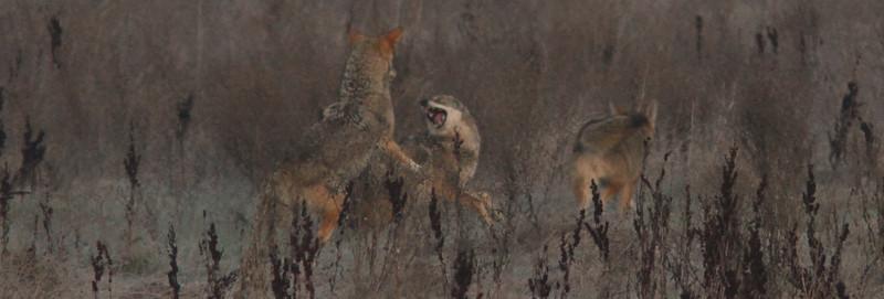 Coyotesdistantscuffle1600.jpg