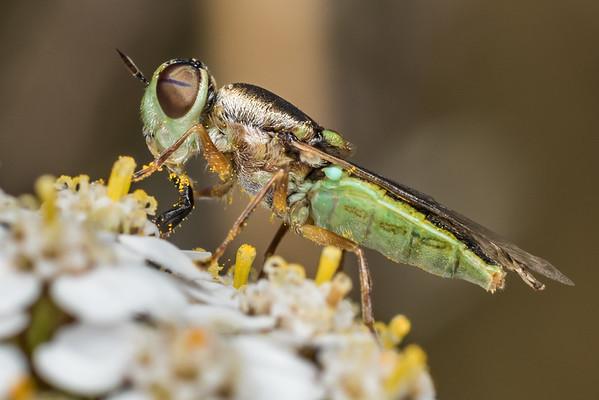 Soldier flies (Stratiomyidae)