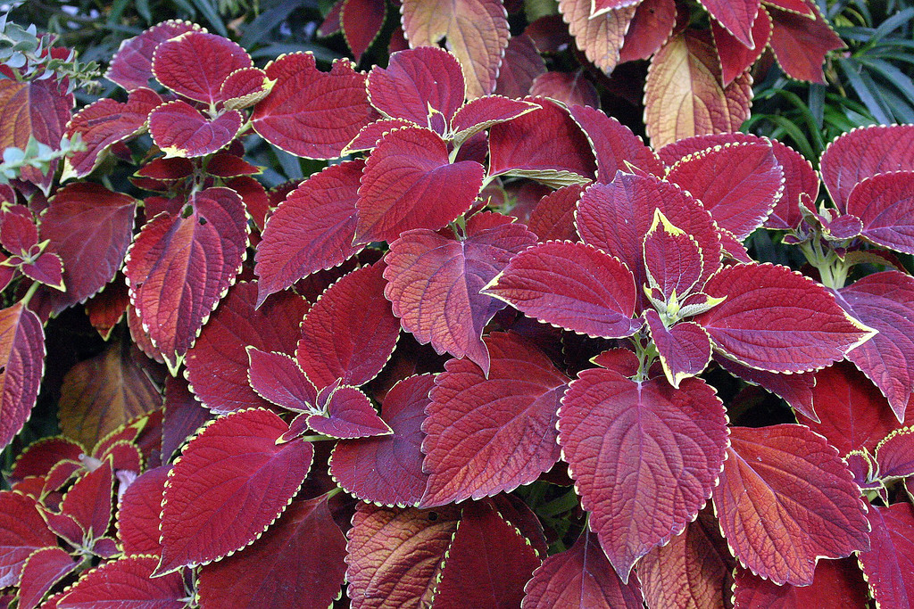 . COLEUS: This plant, which comes in a range of sizes, shapes and colors, is grown mainly for its gorgeous leaves, available in shades of vivid scarlet, chartreuse or purple. (Elizabeth Jardina/SMCT Archives)