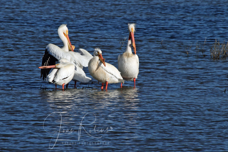 White Pelicans in Breeding Colors