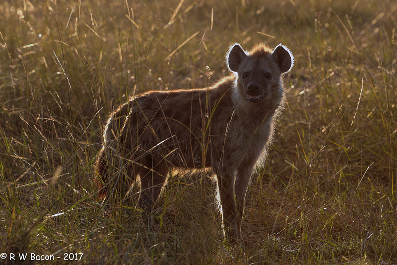Backlit Spotted Hyena.jpg
