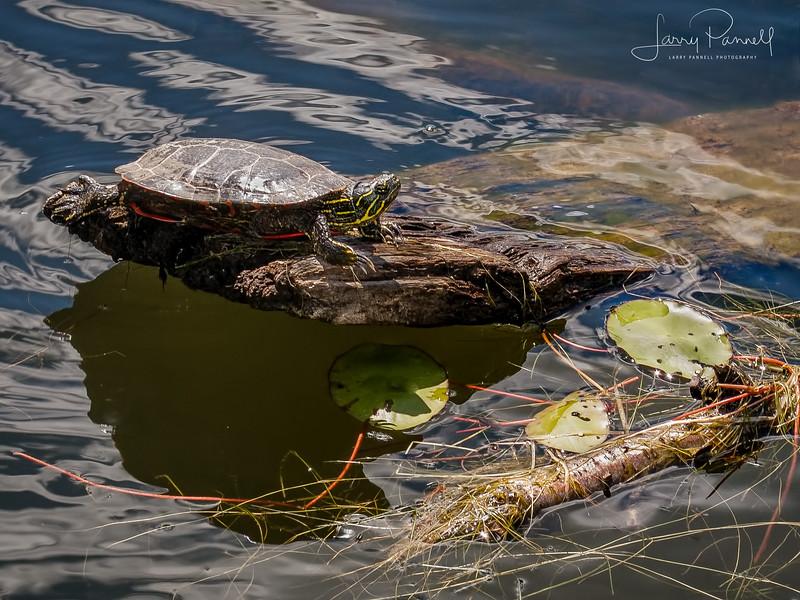 Fresh Water Turtle - Idaho pond