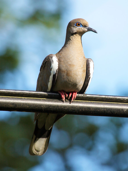 Stately Dove on the power cable