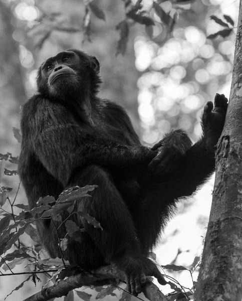 Uganda_T_Chimps-414.jpg
