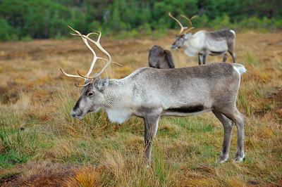 Scotland, Cairngorns Reindeer Herd