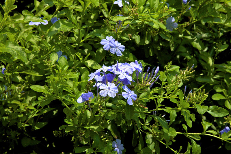 Plumbago; Plumbago Capensis; Blue Plumbago; Cape Plumbago; Cape Leadwort (Plumbago auriculata); native to South Africa, at the Jacksonville Zoo and Gardens.