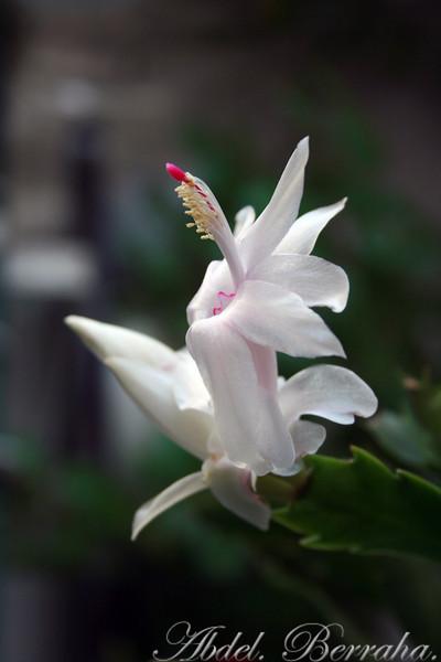 20081122_Cactus blossom_0242.jpg