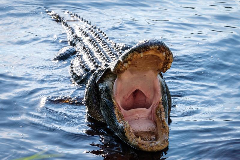 Alligator in action