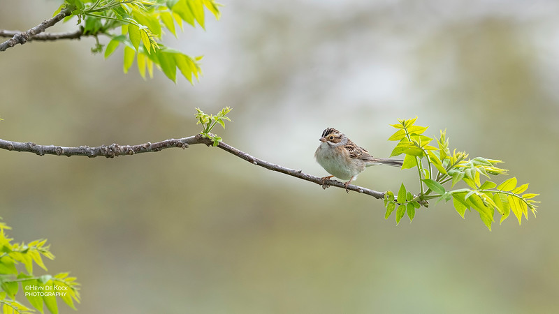 Clay-coloured Sparrow, Standing Bear Lake, NE, USA, May 2018-1a.jpg