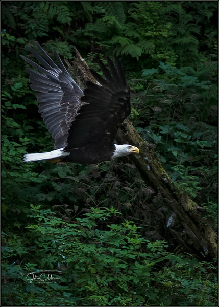 SR3_4490 Eagle potrait LPN W.jpg