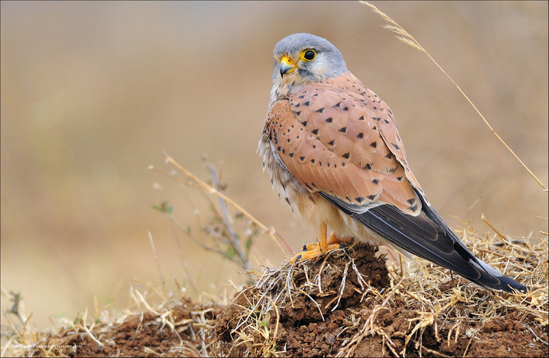 Common Kestrel ( male )