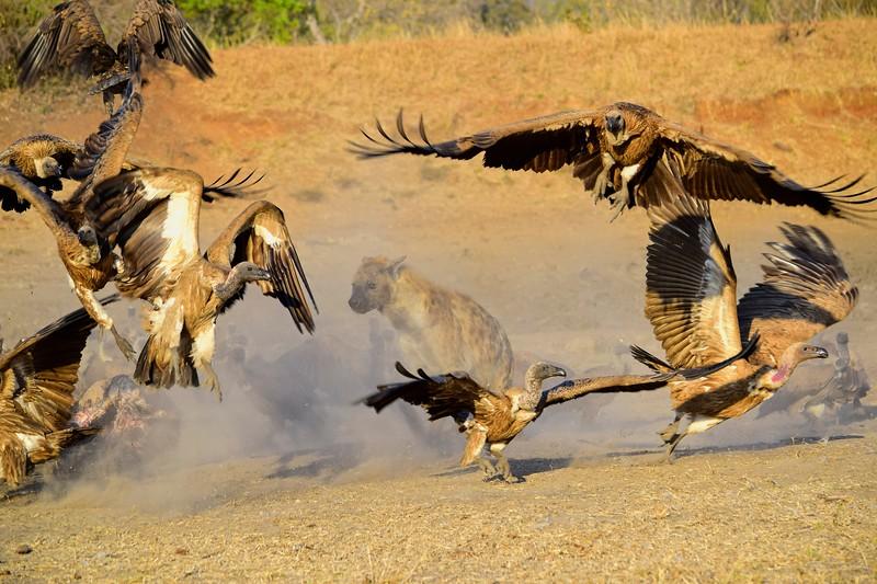 Vultures & Hyena.jpg