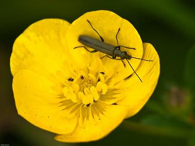Thick-kneed Flower Beetle (Oedemera nobilis)