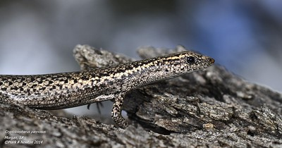Cryptoblepharus pannosus (Ragged snake-eyed skink)