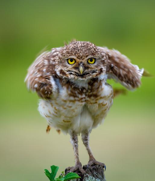 Burrowing Owl-3.jpg