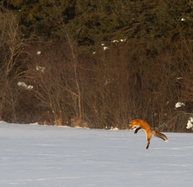 Red Fox leaping pouncing hunting off CR29 Racek Road Sax-Zim Bog MN  IMG_0146.jpg