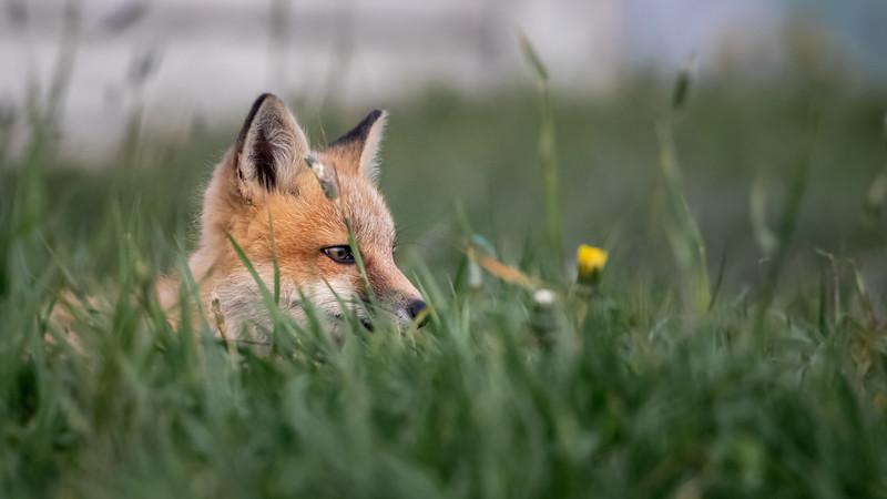 Fox kit in the grass-2178.jpg