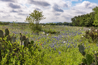 Large field of bluebonnets and clusters of cacti