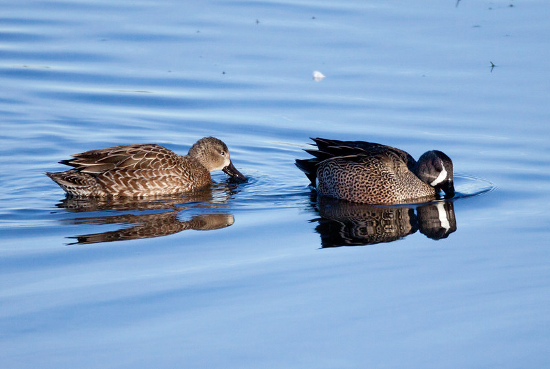 Blue-winged Teal San Diego River 2011 1 26 -1-2.CR2