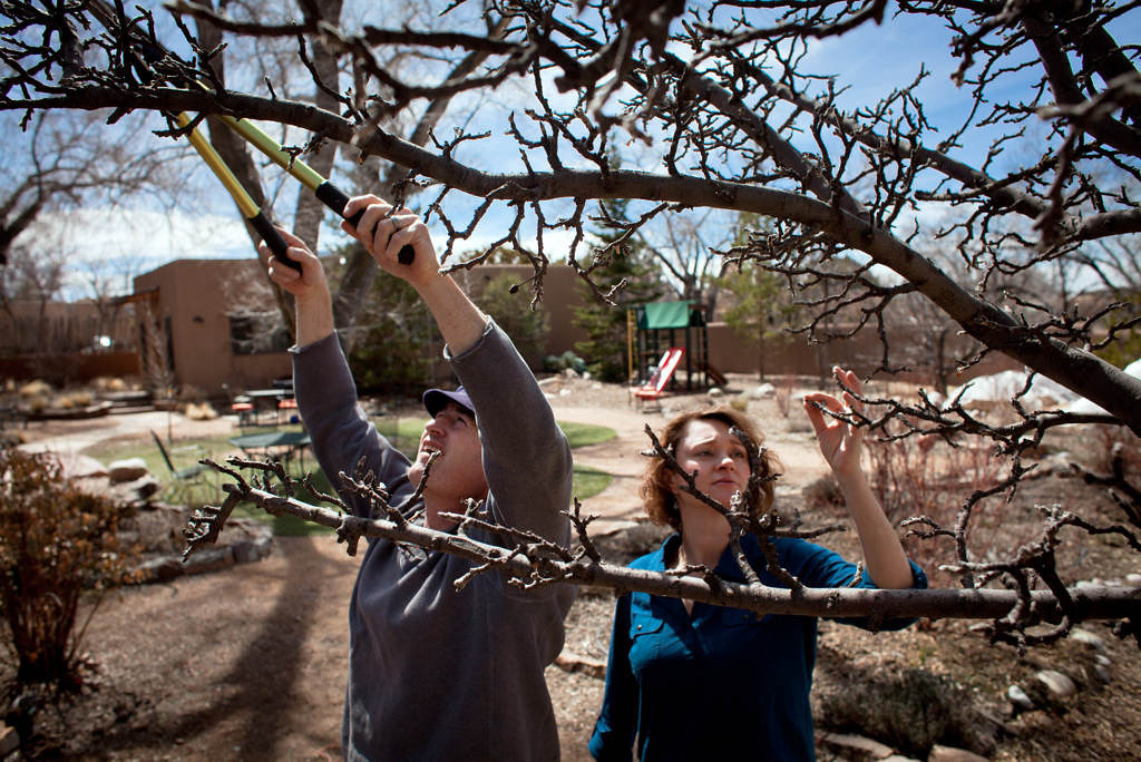. Nate Downey and Melissa McDonald prune an apple tree in their Santa Fe, N.M., back yard on Friday, March 15, 2013. The couple are water conservation experts, and Downey says the annual spring pruning of the vertical-growing shoots, which won\'t produce fruit, optimizes the amount of water the tree consumes by offering it only to the horizontal, fruit-bearing branches. (Special to the Pioneer Press: Mark Holm)