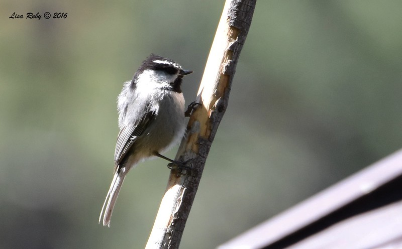 Mountain Chickadee with feathers blowing in the wind - 4/29/2016 - Mt. Laguna Visitor's Center