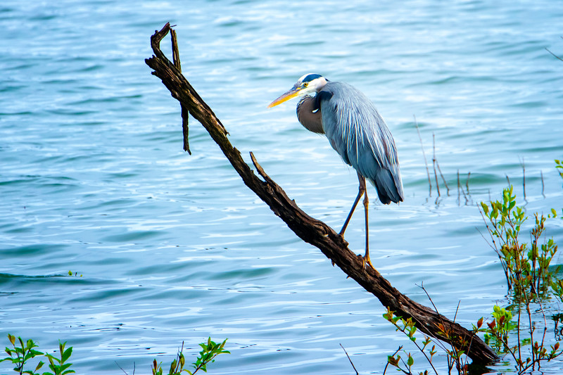5.4.19 - Blackburn Creek Fish Nursery: Great Blue Heron