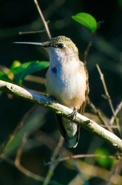 hummingbirdontwig.jpg
