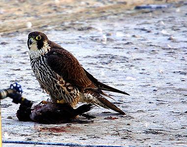 Peregrine Falcon Shots