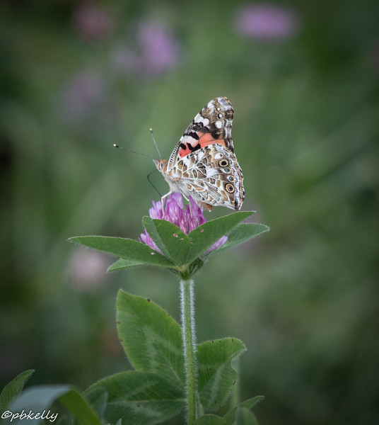 painted lady  080114-1.jpg