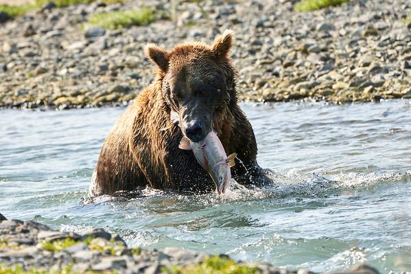 Brown Bears CATCH Fish Katmai 2020
