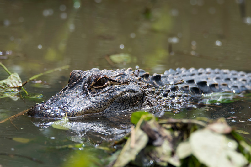 American Alligator 2015.jpg